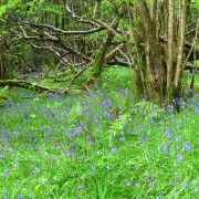 Bluebells at Glencoe Lochan trails