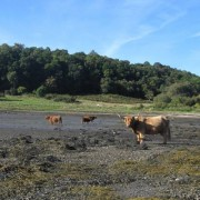 Hairy Coos at the beach near to Castle Stalker, Port Appin.
