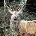 Red deer Glen Etive