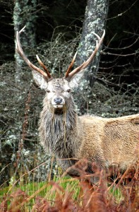 Red deer Glen Etive