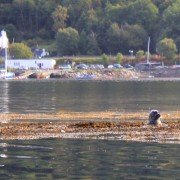 Seal in front of the Glencoe boat club.