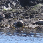 Seals on Loch Leven