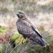 Buzzard in Glencoe