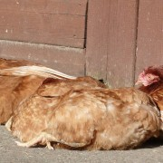 Sunbathing chickens