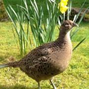 Plucky Pheasant