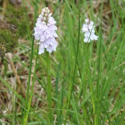 Orchid in the marsh