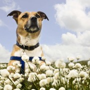 Rusty in cotton grass