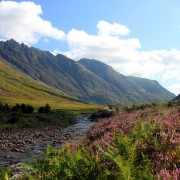 Flowering heather in Glencoe